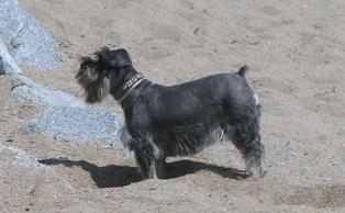 Un perro, en la playa de S'Abanell